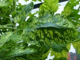 Przykładowe objawy występowania wirusa mozaiki pepino w uprawie pomidorów, fot. 1-9 z różnych gospodarstw
