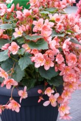 Begonia Cottage 'Salmon'