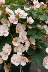 Begonia Cottage 'Vintage Pink'