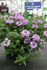 Verbena Vepita 'Lavender White'