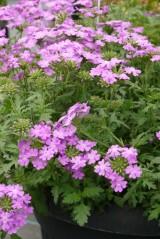 Verbena Vepita 'Lavender'