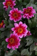 Dahlia Dreamy 'Kiss'
