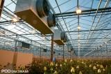 W szklarniach, w których uprawiane są róże, w pełni steruje się warunkami, rośliny są doświetlane