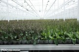 Storczyki z rodzaju falenopsis - przed rozpoczęciem kwitnienia