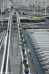 WPS to system przenośników, dzięki któremu rośliny w doniczkach przemieszczane są automatycznie w obrębie szklarni