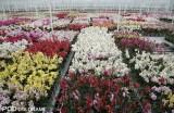 Kwitnące storczyki oczekujące na sortowanie