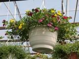 """W asortymencie roślin balkonowo-rabatowych wyróżniają się różnokolorowe """"miksy"""" kalibrachoi (Calibrachoa)"""