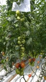 Rośliny testowanej odmiany B123 F1