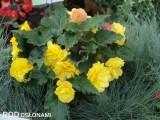 Begonia bulwiasta (Begonia x tuberhybrida) - nowa odmiana 'Yellow with Red Back' z grupy Nonstop