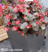 Begonia x benariensis - nowa odmiana 'Red Bronze with Leaf Improved' z grupy BIG
