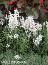 Salvia farinacea 'Evolution White', fot. 1-6 AC