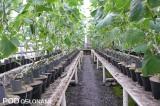 Uprawa na stołach w mnożarce, rośliny krótko po cięciu