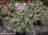 Odmiana 'Mystery' z grupy Diwali gatunku Chamaesyce hypericifolia (syn. Euphorbia hypericifolia)