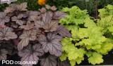 Odmiany 'Purple Rain Forest' (z lewej) oraz 'Green Tea' z grupy Kira żurawki