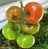 Regulacja gron odmiany wpływa korzystnie na wyrównanie i jakość owoców w gronie, ma również korzystny wpływ na stabilny wzrost roślin i utrzymanie wielkości owoców przez cały sezon