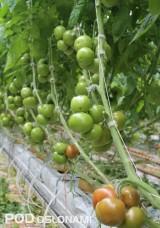 Emrero F1 dobrze sprawdza się w obiektach wyposażonych w ogrzewanie wegetacyjne,w takich warunkach nawet owoce z pierwszych gron są regularne i kształtne