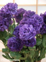 Eustoma grandiflorum 'Voyage Blue' z ekspozycji firmy Sakata