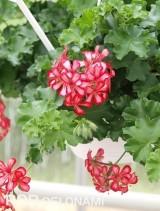 Odmiana 'Red Bicolor' z grupy Grand Idols pelargonii bluszczolistnej