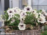 Petunia 'Silver Vein' - nowa odmiana z grupy Fortunia