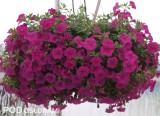 Odmiana 'Pink' z nowej grupy Lindura kalbrachoi (Calibrachoa sp.)