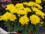 'Chrystal Yellow'