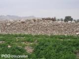 Typowy krajobraz w rejonie uprawy - w tle kamienie usunięte z pola