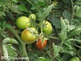 Pomidory typu saladette przeznaczone są na zaopatrzenie rynku warzyw świeżych