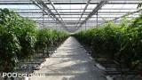 Pomidory w jesiennej uprawie w Jurkowie, fot. 1-9 A. Wize