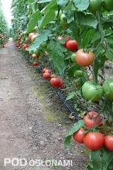 Pomidor malinowy Mamirio F1