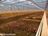 Storczyki z rodzaju falenopsis w szklarni Ter Laak Orchids, fot. 1-3 A. Cecot
