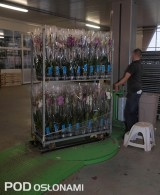 Końcowy etap przygotowania storczyków do handlu - owijanie wózków CC folią