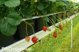 'Vima Rina' - odmiana powtarzająca owocowanie, fot. 1-15 A. Wize