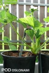 Część roślin uprawiano w doniczkach, pożywka jest doprowadzana kroplownikami z kompensację ciśnienia