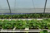 Na pierwszym planie truskawki w tunelu z rolowaną ścianą boczną, z tyłu widoczna uprawa pod daszkami