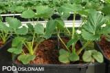 W dużych donicach sadzono po 4 rośliny