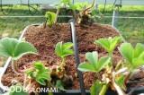 Truskawki uprawiane są w podłożu kokosowym