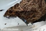 Dobrze rozbudowany system korzeniowy truskawek w podłożu kokosowym