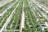 Rozsada pomidorów produkowana latem ma bardzo dobre warunki świetlne, fot. 1-9 A. Wize