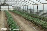 Pomidory posadzone po zakończeniu uprawy ogórków - uprawa tunelowa, okolice Nowego Sącza