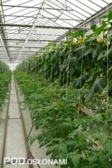 Podsadzanie - młode rośliny pomidora rosną obok ogórków z kończącego się cyklu produkcji