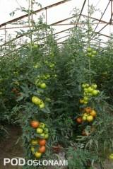 Nadmierne obciążenie dolnych gron skutkuje osłabieniem wierzchołka roślin