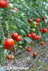Tunelowa uprawa pomidorów - podrywanie liści od dołu roślin pomaga zapewnić równowagę wzrostu i rozwoju oraz umożliwia dobre przewietrzanie plantacji
